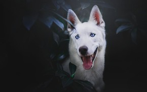 Picture language, face, leaves, portrait, The white Swiss shepherd dog