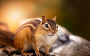 Picture look, light, nature, pose, muzzle, Chipmunk, log, rodent