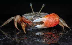 Picture look, drops, macro, crab, black background, claws