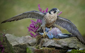 Picture look, flowers, pose, stones, background, bird, dove, moss, wings, predator, Falcon, hunter, hawk, predatory, mining, …