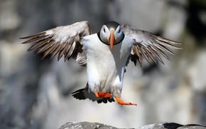 Picture bird, Puffin, Landing