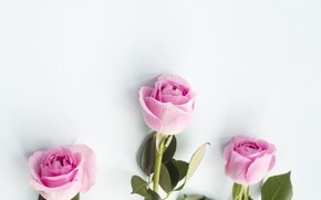 Picture roses, white background, buds
