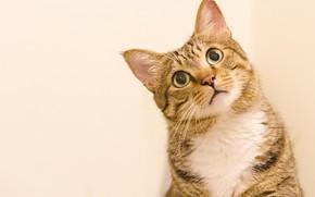 Picture cat, cat, look, face, pose, portrait, light background, striped