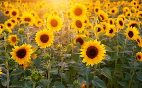 Picture field, rays, light, sunflower