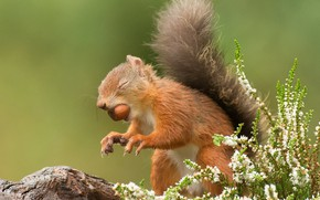 Picture flowers, pose, paws, walnut, protein, claws, green background, stand, mining, closed eyes, Heather
