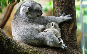 Picture tree, baby, pair, trunk, cub, mom, two, sitting, Koala, eucalyptus, breastfeeding