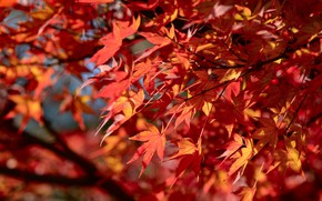 Picture autumn, leaves, tree, colorful, red, red, maple, autumn, leaves, autumn, maple