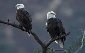 Picture birds, branches, background, tree, predators, bokeh, Bald eagle