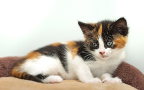Picture cat, pose, baby, lies, kitty, light background, spotted, bench, motley