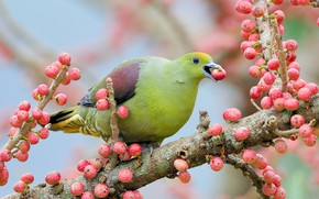 Picture branches, green, berries, tree, bird, dove, fruit, pink