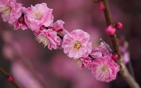 Picture flowers, branch, spring, Sakura, pink, flowering, blurred background
