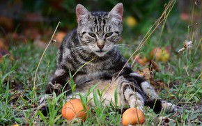 Picture cat, cat, look, pose, grey, apples, garden, sitting, striped