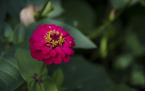 Picture greens, flower, red, zinnia