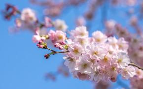Picture the sky, light, flowers, branch, spring, Sakura, pink, flowering, blue background, bokeh