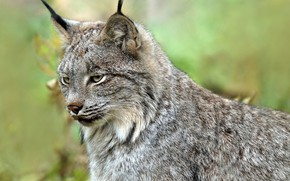 Picture face, background, lynx, wild cat