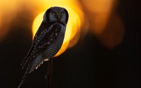Picture light, the dark background, owl, bird, bokeh, owl