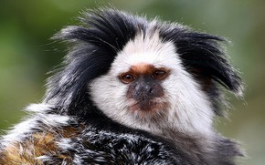 Picture look, monkey, face, shaggy, Marmoset Geoffroy