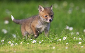 Picture greens, summer, grass, spring, Fox, serious, walk, flowers, clearing, lawn, ponytail, Fox, Fox, focus