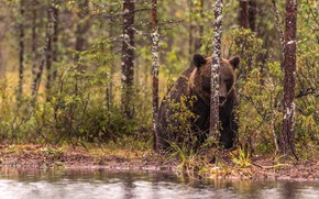 Picture forest, grass, leaves, trees, branches, nature, pose, shore, bear, bear, sitting, pond, brown