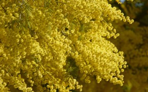 Picture yellow, Flowers, spring, flowering, Mimosa