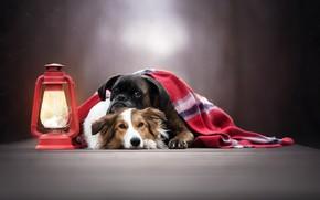 Picture lantern, plaid, friends, bokeh, two dogs, Boxer