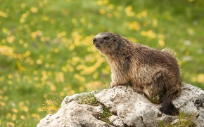 Picture flowers, nature, stones, meadow, marmot