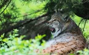 Picture greens, language, cat, summer, look, face, leaves, branches, nature, pose, background, mouth, lies, lynx, needles, …