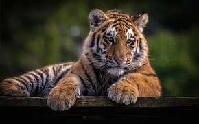 Picture look, face, nature, tiger, pose, the dark background, portrait, paws, wild cat, tiger, tiger