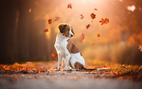 Wallpaper road, autumn, look, leaves, orange, nature, pose, Park, background, foliage, dog, leaves, red, sitting, falling ...
