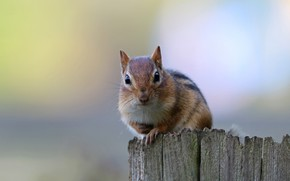 Picture background, Chipmunk, rodent