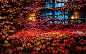Picture leaves, house, window, ivy