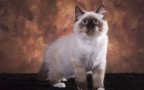 Picture cat, look, pose, kitty, background, muzzle, fur, Studio, color-point, ragdoll