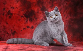 Picture cat, cat, look, pose, kitty, grey, cat, legs, muzzle, cute, kitty, sitting, red background, British, …