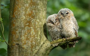 Picture birds, background, tree, owl, two, owls, a couple