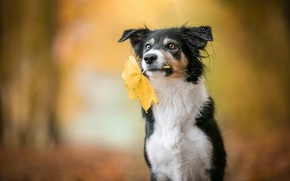 Picture autumn, look, face, nature, pose, sheet, Park, background, leaf, black and white, portrait, dog, autumn