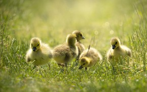 Picture grass, glade, duck, ducklings, Chicks, geese, the goslings, brood