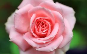 Picture drops, macro, pink, rose, petals