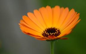 Picture flower, background, stamens, calendula