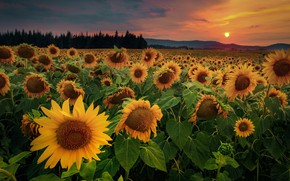 Picture field, the sky, sunflowers, sunset, flowers