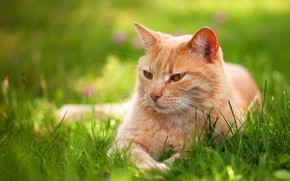 Wallpaper greens, cat, summer, grass, cat, look, pose, stay, relax, spring, red, lies, lawn