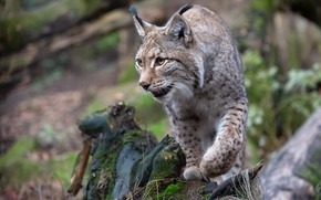Picture look, pose, stump, paws, lynx