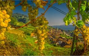 Picture autumn, Switzerland, harvest, grapes, bunch, town