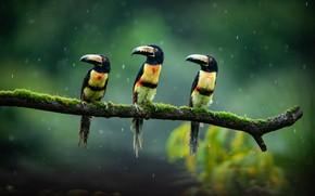 Picture birds, trio, toucans