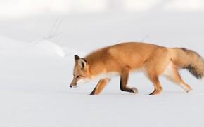 Picture winter, snow, nature, Fox, the snow, profile, red, walk