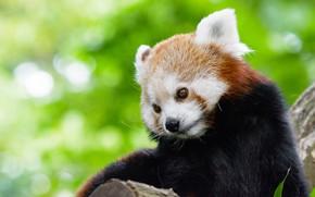 Picture look, face, pose, background, portrait, cute, red Panda, cutie, bokeh, red Panda