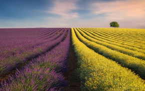 Picture field, the sky, nature, field, lavender