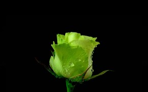 Picture BACKGROUND, PETALS, DROPS, GREEN, MACRO, ROSE, BUD