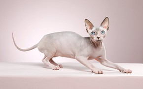 Picture cat, look, pose, kitty, background, muzzle, kitty, Sphinx, Studio