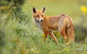 Picture grass, look, nature, pose, Fox