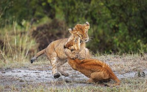 Picture nature, rain, the game, fight, dirt, lions, the cubs, a couple, lion, two, muzzle, poses, …